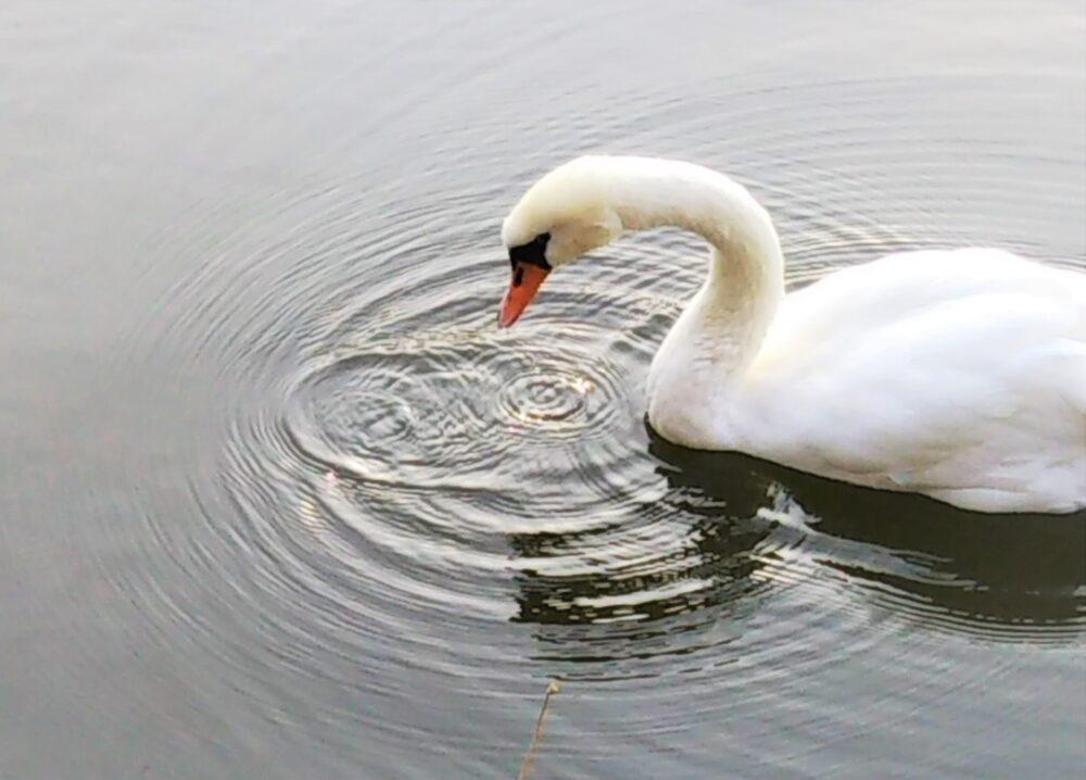 鹿沼公園の白鳥