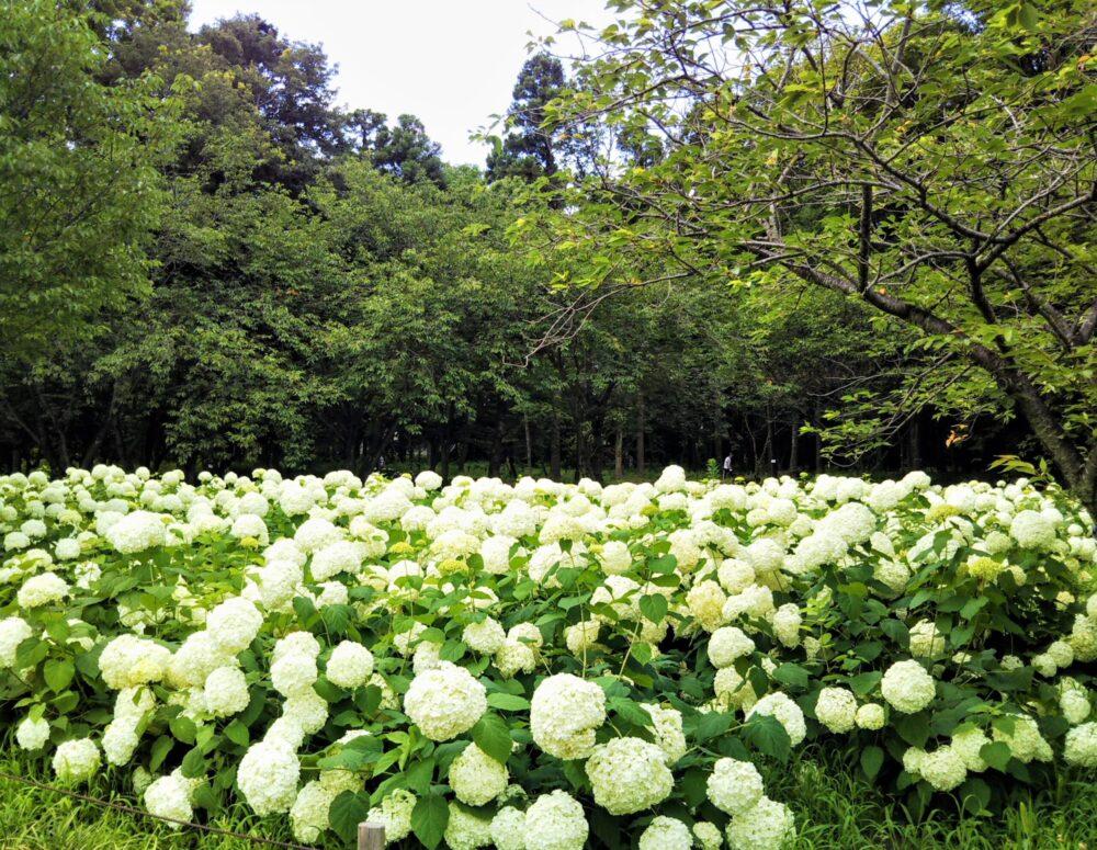 相模原北公園|アナベルが咲き乱れる