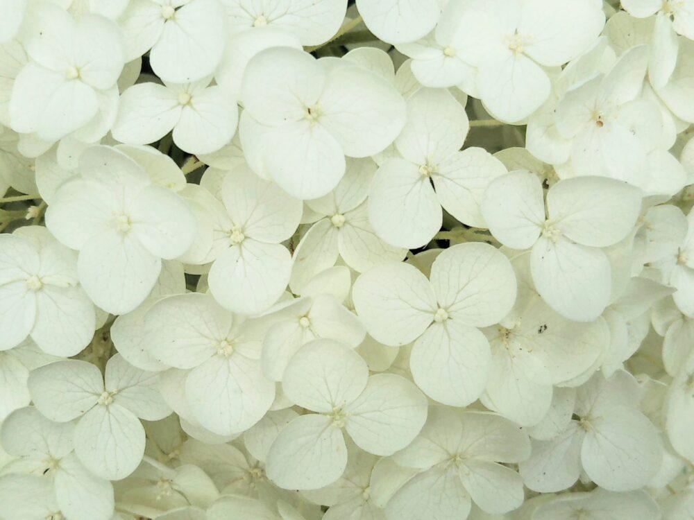 相模原北公園|アナベルの花びら